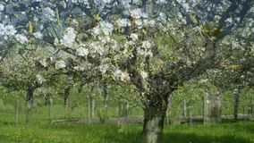 Cherry blossom in Germany stock video