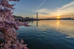 Cherry Blossom am Gezeiten- Becken stockfotografie