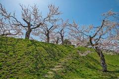 Cherry blossom at Goryokaku park Stock Photo