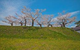 Cherry blossom at Goryokaku park Royalty Free Stock Image