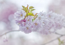 Cherry blossom with green leaves in closeup Royalty Free Stock Photo