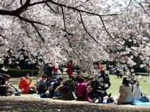 Cherry Blossom. A group of people enjoying the cherry blossom season under a white cherry blossom tree royalty free stock photos