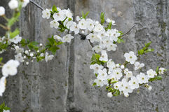 Cherry blossom on grunge concrete textured  wall Stock Image