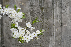 Cherry blossom on grunge concrete textured  wall Royalty Free Stock Photo