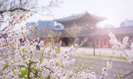 Cherry blossom at gyeongbokgung palace in Spring South Korea. Royalty Free Stock Image