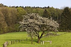 Cherry blossom in Hagen a.T.W. in the Osnabrück country, Lower Saxony, Germany Royalty Free Stock Photos
