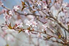 Cherry blossom - hanami beginning Royalty Free Stock Photography