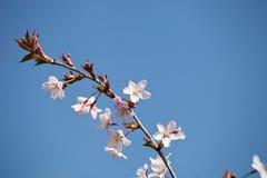 Cherry blossom - hanami beginning Royalty Free Stock Images