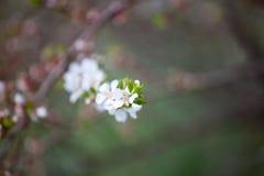 Cherry blossom - hanami beginning Stock Photos