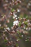 Cherry blossom - hanami beginning Stock Images