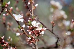 Cherry blossom - hanami beginning Stock Photography