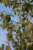 Cherry Blossom Hanging utanför mitt fönster Och igen, våren, knackar du i mitt, destinerad svårmod, hus royaltyfria foton