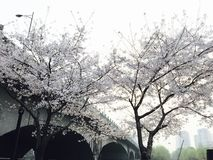 Cherry trees in spring royalty free stock photography