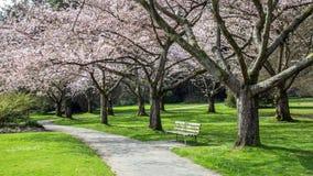 Cherry Blossom haven Royalty Free Stock Photo