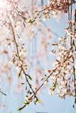 Cherry Blossom Heart imagem de stock royalty free