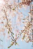 Cherry Blossom Heart Royalty Free Stock Image