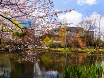 Cherry blossom at Hokkaido Government Office Royalty Free Stock Image