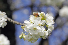 Cherry blossom and honey bee Stock Photo