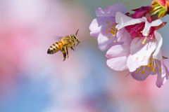 Cherry Blossom and Honeybee. Honeybee flying to cherry blossom flower stock image