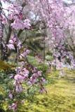 Cherry Blossom i den japanska relikskrin - Tokyo Arkivfoto