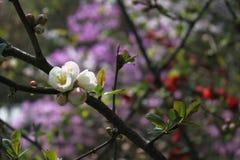 Cherry Blossom i den japanska relikskrin - Tokyo Royaltyfri Fotografi