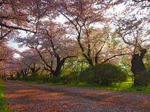 Cherry Blossom i Kitakami Japan Fotografering för Bildbyråer