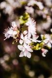 Cherry Blossom I petali sono sbocciato immagini stock libere da diritti