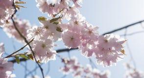 Cherry Blossom i Sverige Arkivfoton