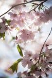 Cherry Blossom i Sverige Royaltyfri Bild