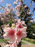 Cherry Blossom i Taiwan Fotografering för Bildbyråer