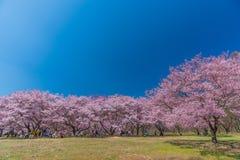 Cherry Blossom i Takato Arkivbild