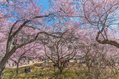 Cherry Blossom i Takato Royaltyfria Foton