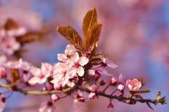 Cherry Blossom i trädgården royaltyfria foton