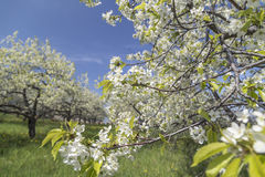 Cherry Blossom i traversstad Fotografering för Bildbyråer