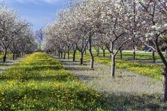 Cherry Blossom i traversstad Royaltyfri Bild