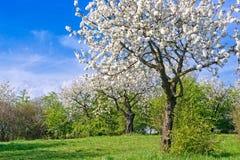Cherry Blossom i vår Arkivbilder