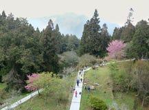 Cherry Blossom i våren Royaltyfri Foto