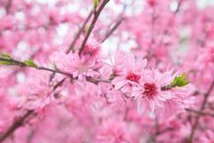 Cherry Blossom i vårsäsong Fotografering för Bildbyråer