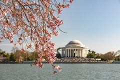 Cherry Blossom i Washington DC - Thomas Jefferson Memorial royaltyfri foto
