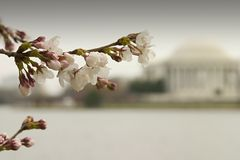 Cherry Blossom III Stock Image
