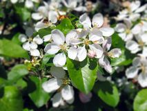 Cherry Blossom Intoxicating Beauty lizenzfreie stockbilder