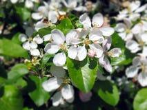 Cherry Blossom Intoxicating Beauty royalty-vrije stock afbeeldingen