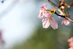 Cherry blossom isolate with sky blue color Stock Image