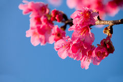 Cherry blossom isolate with sky blue color Royalty Free Stock Image