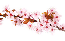 Cherry blossom isolate on white. Sakura. Beautiful flowers Royalty Free Stock Images