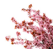 Cherry blossom isolate on white. Sakura Royalty Free Stock Photo