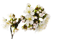 Cherry blossom isolated Stock Photography