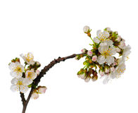 Cherry blossom isolated Royalty Free Stock Images