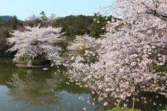 Cherry Blossom japón Imágenes de archivo libres de regalías