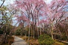 Cherry Blossom japón Fotos de archivo libres de regalías